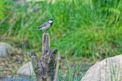 Great Tit. A Great Tit stands on tree stump. Scientific name: Parus major Royalty Free Stock Photos