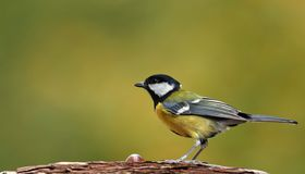Great tit, green background Stock Photography