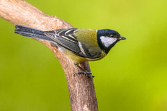 Great tit on green background Stock Image
