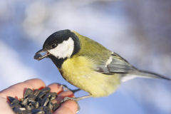 Great tit on hand Royalty Free Stock Image