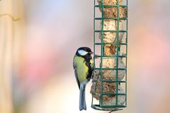 Great tit hanging on fat feeder Stock Image