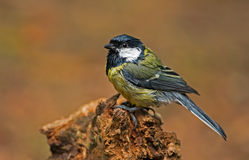 Wet Great tit Stock Photography