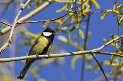Great Tit and Her Prey (Parus major) Royalty Free Stock Photography