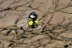 Great tit hiding amongst the twigs Royalty Free Stock Photography