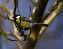 Great Tit. Stock Photo