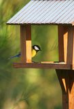 Great tit in his house. A great tit looking for food in winter Stock Photography