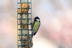 Great tit on hung feeder Stock Photography