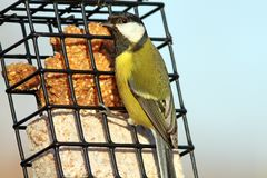 Great tit on a lard feeder Royalty Free Stock Photography