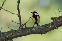 Great tit with larva Stock Photography