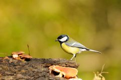 Great tit. On a log with mushrooms Stock Photography