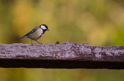 Great Tit on log Royalty Free Stock Photography