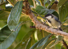 Great Tit on a Lokuat tree Royalty Free Stock Image