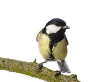 Great tit looking right Stock Image