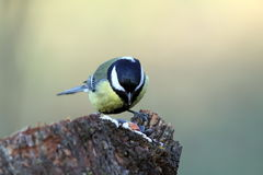 Great tit looking for seeds Stock Photography