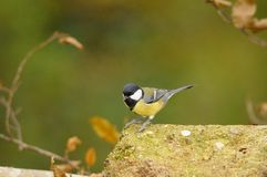 Great tit. On a mossy stone Royalty Free Stock Photos