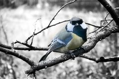 In winter Great Tits has hungry life. Great tit is most common and beloved sedentary bird in Europe and Asia, dumb animals. In winter Tits difficult, hungry life Stock Photo