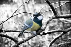 In winter Great Tits has hungry life. Great tit is most common and beloved sedentary bird in Europe and Asia. In winter Tits difficult, hungry life. Tits need Royalty Free Stock Photography
