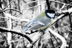 In winter Great Tits has hungry life. Great tit is most common and beloved sedentary bird in Europe and Asia. In winter Tits difficult, hungry life. Tits need Royalty Free Stock Photos