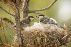 Great tit on nest with eggs Royalty Free Stock Photo