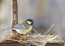 Great tit on nest Stock Images