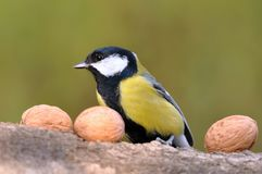 Great tit with nuts Stock Image