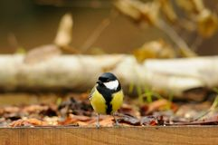 Great tit. In the park Stock Photos