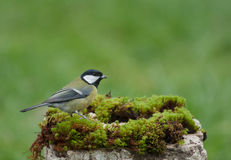 Great tit in a park Stock Photography