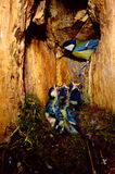 Great tit. Parus Majol nest in cavities chicks cue offspring parental care Royalty Free Stock Photo