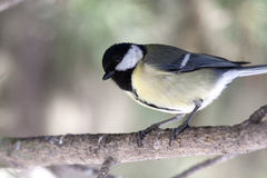 Great Tit (Parus major). On a spruce branch. In the First Movement of Bruckner's 4th Symphony several Great Tit songs are strung together in a very realistic Stock Photography