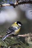 Great Tit (Parus major). A great tin on a Swiss pine (Arolla pine) (Pinus cembra) branch. The Great Tit (Parus major) is a passerine bird in the tit family Stock Image