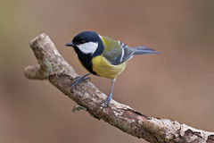 Great Tit, Parus major Stock Photography
