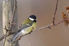 Great tit, parus major Royalty Free Stock Photos