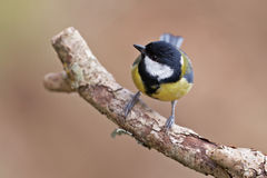 Great Tit, Parus major Royalty Free Stock Image
