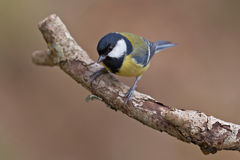 Great Tit, Parus major. On a branch. Shallow depth of field and bakground blurred stock photography