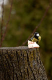Great Tit - Parus major Stock Images