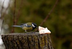 Great Tit - Parus major Royalty Free Stock Photography