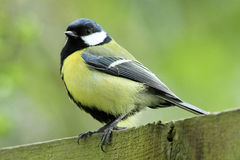 Great Tit (Parus major). A great tit parus major sitting on top of a wooden fence royalty free stock photos