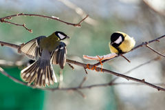 Great Tit, Parus major. Great Tit (Parus major) quarrel because of a fat piece stock image