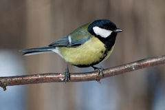 Great Tit, Parus major. Great Tit (Parus major) in the wild nature. A wildlife photo royalty free stock images