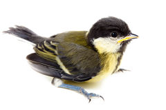 Great Tit, Parus major. Baby bird of a titmouse who soon should take off from a nest stock images