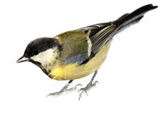 Great Tit, Parus major Stock Image