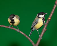 Great Tit, Parus major. In front of green background. Russia, Moscow, Timirjazevsky park royalty free stock photo
