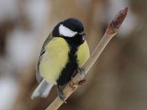 Great Tit (Parus Major) Royalty Free Stock Image