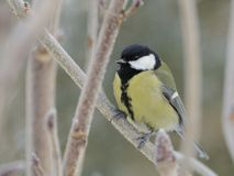 Great Tit (Parus Major) Royalty Free Stock Images