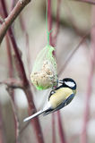 Great Tit (Parus major) Royalty Free Stock Photos