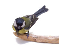 Great Tit, Parus Major Stock Photos