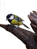 Great Tit, Parus Major 2 Royalty Free Stock Photo