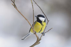Great Tit , Parus major Royalty Free Stock Images