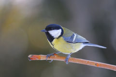 Great Tit , Parus major Stock Image
