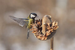 Great tit Parus Major Stock Images